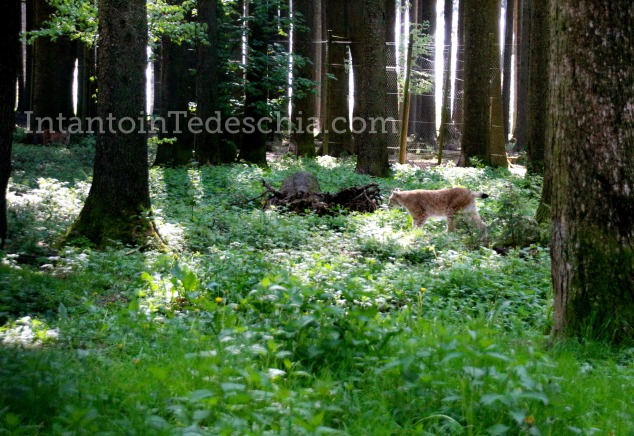 Poing Wildpark Baviera Germania