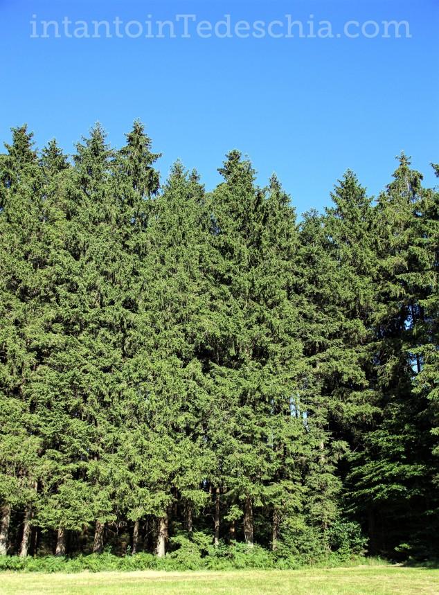 natura baviera alberi pini